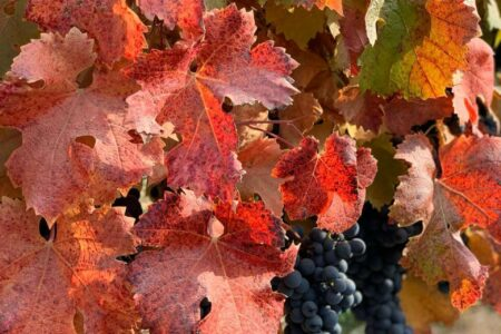 Concha y Toro presents its 2020 Harvest Report